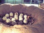 恐竜博物館卵.JPG