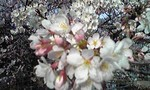 桜の花びら.jpg