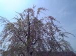大崎公園桜.JPG